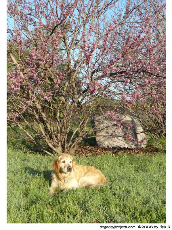 dog a day photo of Storm relaxing beneath a blooming tree